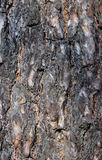 杉树的吠声 图库摄影