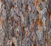 杉树的吠声 免版税库存图片