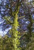 杉树的扼杀者植物 图库摄影