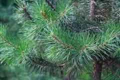 杉树的枝杈 库存图片