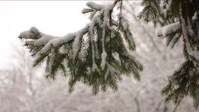 杉树的树枝。外面下雪的视频。杉树的树枝。外面下雪的视频。 股票录像