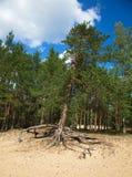 杉树的照片与生长在沙丘的上面的大被暴露的根的,在蓝天背景  免版税图库摄影