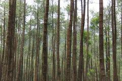 杉树的照片,从下面,版本14 库存图片