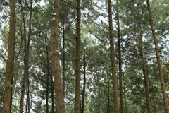 杉树的照片,从下面,版本15 免版税库存图片