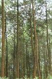 杉树的照片,从下面,版本17 免版税库存照片