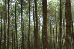 杉树的照片,从下面,版本18 库存图片