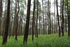 杉树的照片,从下面,版本19 免版税库存照片
