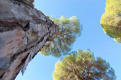 杉树的由下往上的看法 图库摄影