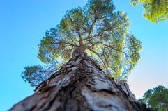 杉树的由下往上的看法 库存照片