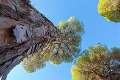 杉树的由下往上的看法 免版税图库摄影