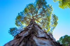 杉树的由下往上的看法 免版税库存照片