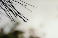 杉树的细节有模糊的背景 免版税库存图片