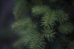 杉树的细节有模糊的背景 库存图片