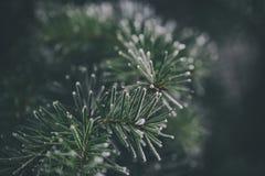 杉树的细节 免版税库存图片