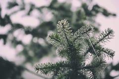 杉树的细节 免版税库存照片
