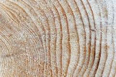 杉树的年轮 免版税库存照片