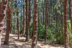 杉树看法与明亮的阳光,乌塔卡蒙德,印度, 2016年8月19日的 库存照片