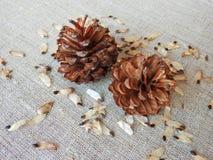 杉树种子和石头在亚麻制织品,立陶宛 免版税库存图片