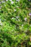杉树纹理 免版税库存图片