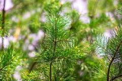杉树纹理 库存图片