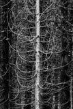 杉树肢体和分支原野森林  库存图片