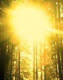 杉树背景 免版税库存图片