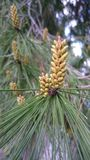 杉树芽在春天 库存照片