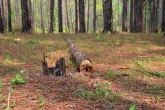 杉树被扣除的砍伐 库存照片