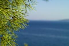 杉树详细资料和海景 免版税库存图片