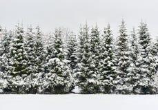 杉树连续 库存照片