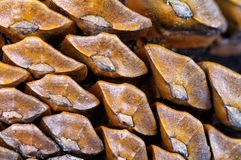 杉树锥体的宏指令 库存图片