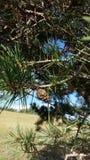 杉树锥体 库存图片