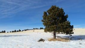 杉树,在雪的领域 库存图片