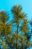 杉树-储蓄图象 免版税库存图片