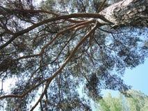 杉树-分支 库存图片