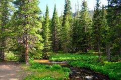 杉树围拢的山小河在森林里 库存图片
