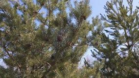 杉树 背景蓝色云彩调遣草绿色本质天空空白小束 晴朗日的春天 轻风,动态场面 股票录像