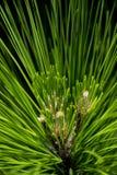 杉树细节 库存图片