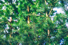 杉树细节 免版税库存照片