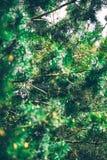 杉树细节 库存照片