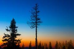 杉树 图库摄影