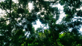 杉树 免版税库存图片