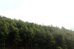 杉树 免版税图库摄影