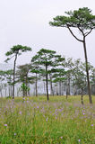 杉树Phu的Soi Dao N森林和Murdannia giganteum草甸 免版税图库摄影