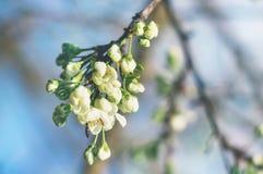李子分支与白花的芽的在庭院里在春天好日子 免版税库存图片