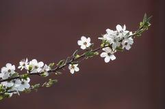 李子分支和白色开花美丽的春天特写镜头  免版税库存照片