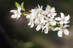 李子分支和白色开花美丽的春天特写镜头  免版税库存图片