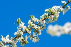 李子在与蓝天的一个分支开花 库存图片