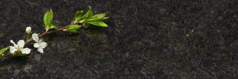 李子在古色古香的布朗花岗岩工作台面的开花分支 免版税库存图片