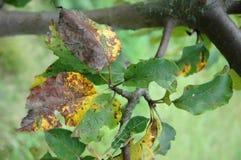 李子在叶子的锈病 免版税图库摄影